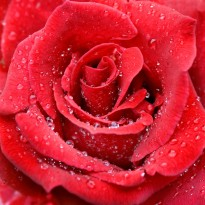 Raindrops_red_rose[1]